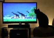 kot oglądający tv